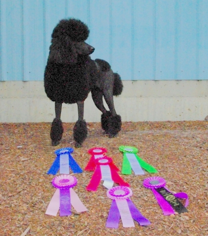 Dixie-UKC-CH-with-Ribbons